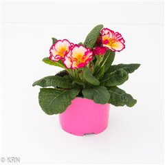Primrose Raspberry Surprise 12cm x 8