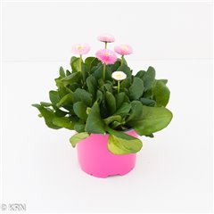 CP Bellis Colour pot 12cm x 8