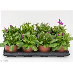 Arabis Rose Delight 1 litre x 8