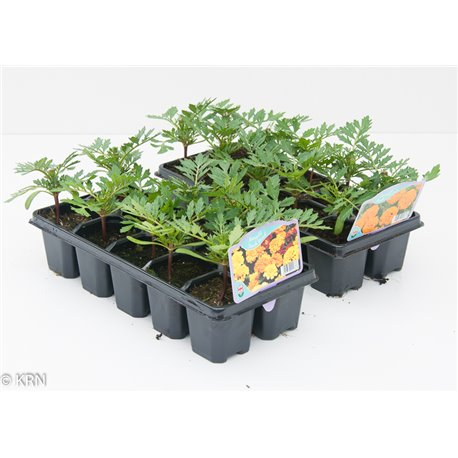 12 Pack French Marigold