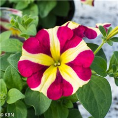 "Petunia Amore ""Queen of Hearts"" x 8"