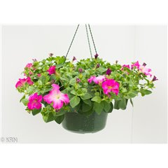 Hanging Pot Trailing Petunia 27cm x 1