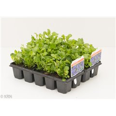 10 Pack Lobelia Trailing
