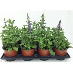 Salvia nemerosa New Dimension 1 litre x 8