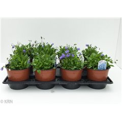Campanula cochleariifolia Baby Blue 1 litre x 8