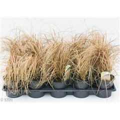 Ornamental Grass Carex Bronco 10.5cm x 15