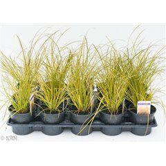 Ornamental Grass Carex Prairie Fire 10.5cm x 15