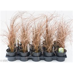 Ornamental Grass Carex Red Rooster 10.5cm x 15