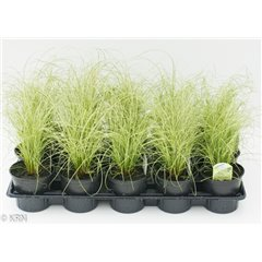 Ornamental Grass Carex Amazon Mist 10.5cm x 15