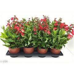 Penstemon 1 litre x 8