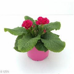 CP Primrose Double Reubens Colour Pot 12cm x 8