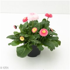 Bellis Strawberries & Cream 9cm x 15