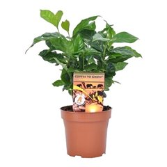 "Coffea arabica ""Coffee Plant"" 12cm x 10"