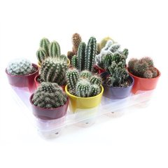 Cacti in Ceramic Pots 10.5cm x 11