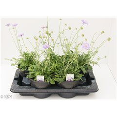 Scabious columbaria 2 litre x 5