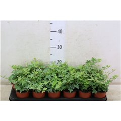 Hedera Silver or Gold 9cm x 18