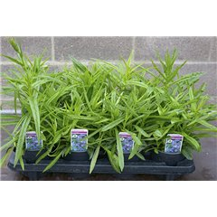 Campanula Takion Blue or White 1 litre x 8