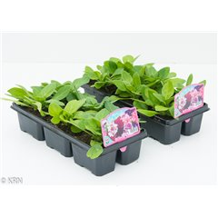 6 Pack Petunia Double Duo mix