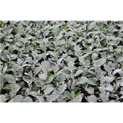 6 Pack Cineraria Silver Dust