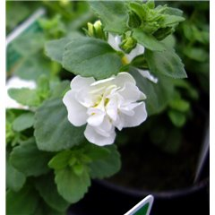 Bacopa Double White 9cm x 20