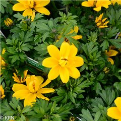 Bidens Double Yellow 9cm x 20