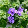 Bacopa Double Blue 9cm x 20