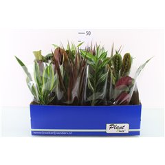 Foliage House Plant Mix 12cm x 12