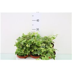 Hedera Assorted Colours 13cm x 6