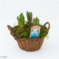 Hyacinth Basket 3 bulbs 15cm