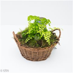 Hyacinth Basket 5 bulbs and fern 18cm